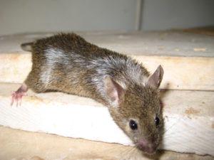 לכידת עכבר