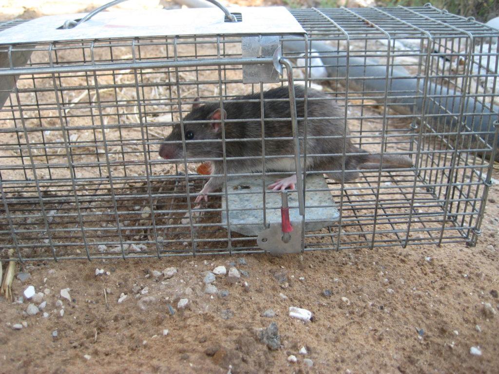 מלכודת לעכברוש